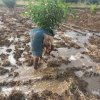 13.flood watering to mango plant in ghansor wadi project  seoni district