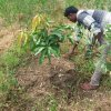18. mango plant growth in ghansor seoni district mp under wadi project